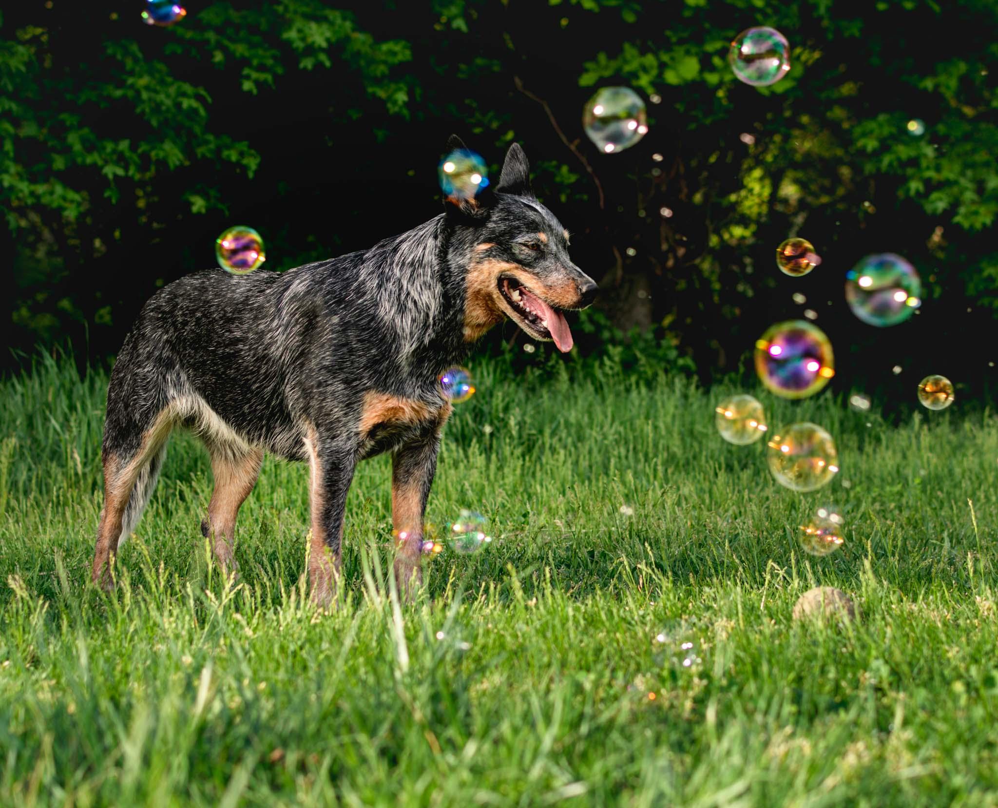 Hundefoto mit Seifenblasen, Tierfotografie, Zwischenmomente | Nina Hrusa Photography