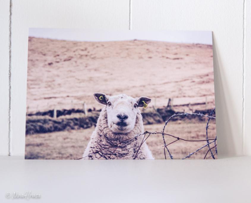 Postkarte lächelndes Schaf, Zwischenmomente | Nina Hrusa Photography